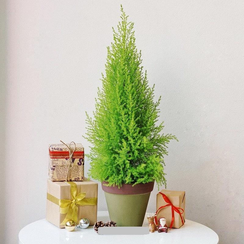 cây tùng thơm phong thủy